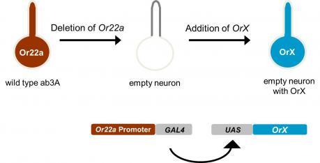 olfaction in drosophila carlson labEmpty Diagram Of Neuron #20